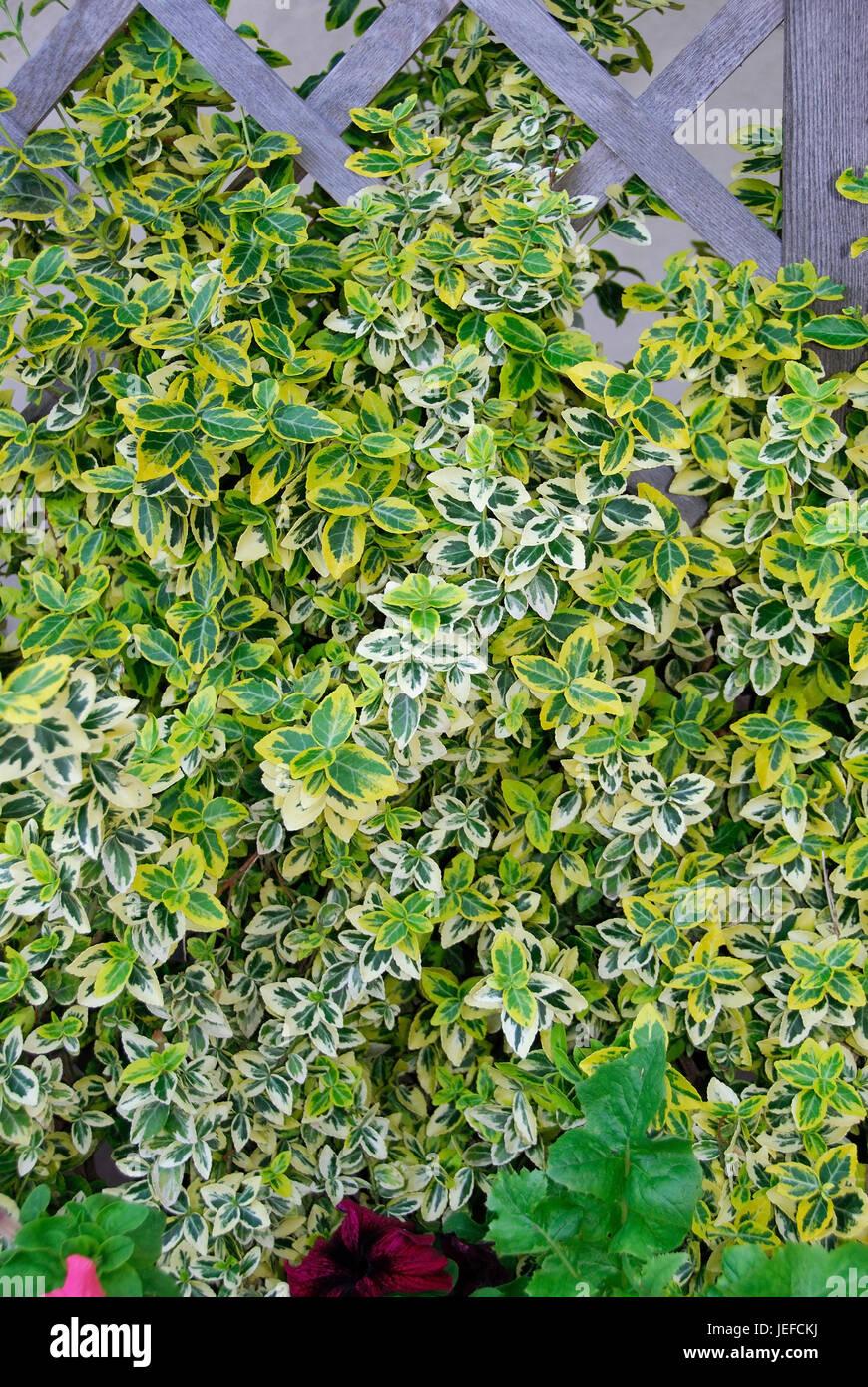 Euonymus fortunei Emeraldn gold, Euonymus fortunei 'Emerald'n Gold' - Stock Image