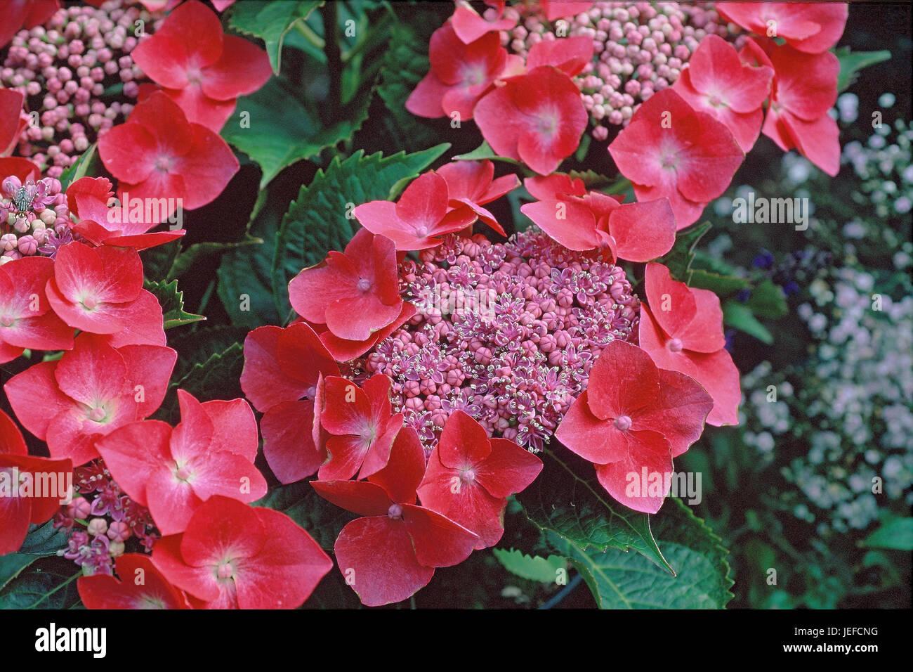 Garden hydrangea, Hydrangea macrophylla cardinal, Gartenhortensie, Hydrangea macrophylla Kardinal Stock Photo