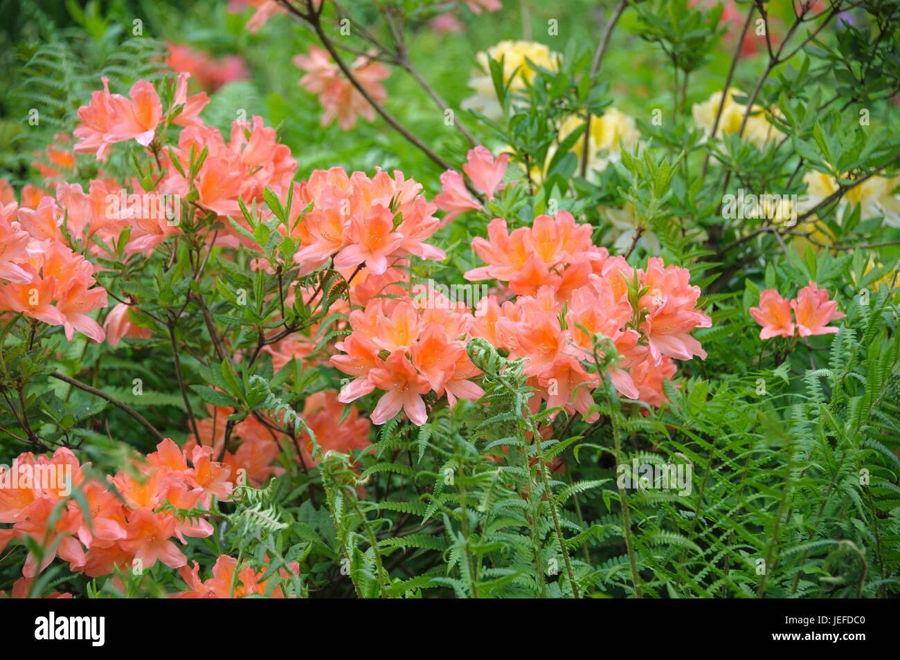 Azalea, rhododendron mollis x sinensis salmon , Azalee (Rhododendron mollis x sinensis lachs) - Stock Image