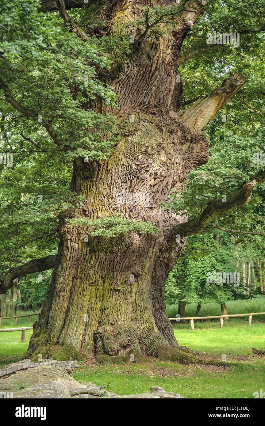 Of Ivenacker oaks, handle oak, Quercus robur , Ivenacker Eichen, Stiel-Eiche  (Quercus robur) - Stock Image