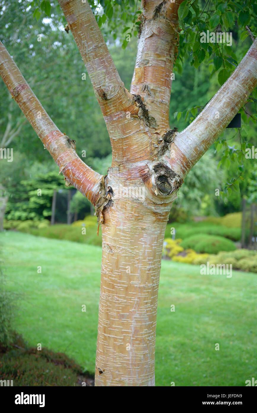 Betula Utilis Jacquemontii Stock Photos Betula Utilis Jacquemontii