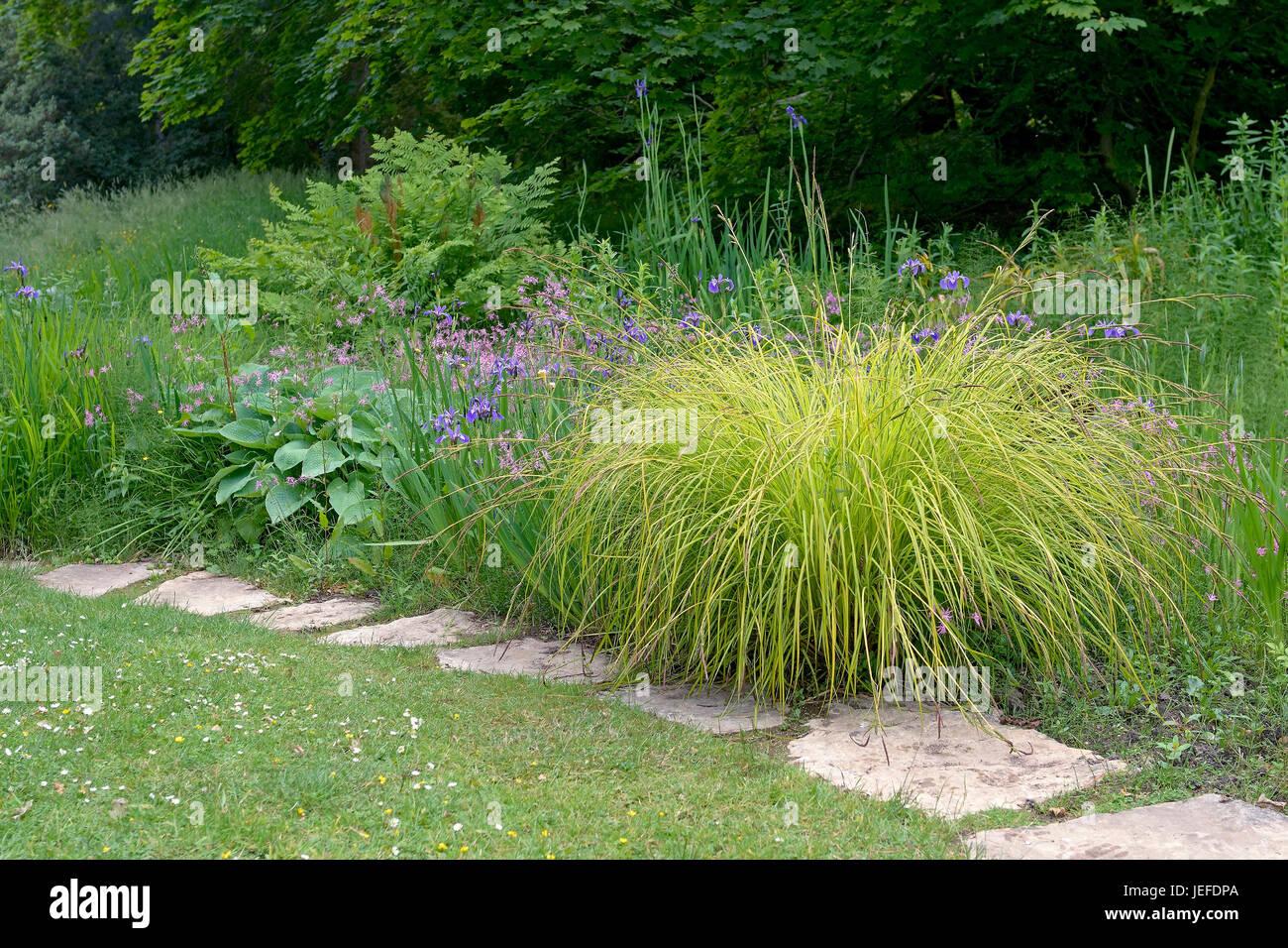 Stiff Segge, Carex elata Aurea , Steife Segge (Carex elata 'Aurea') - Stock Image