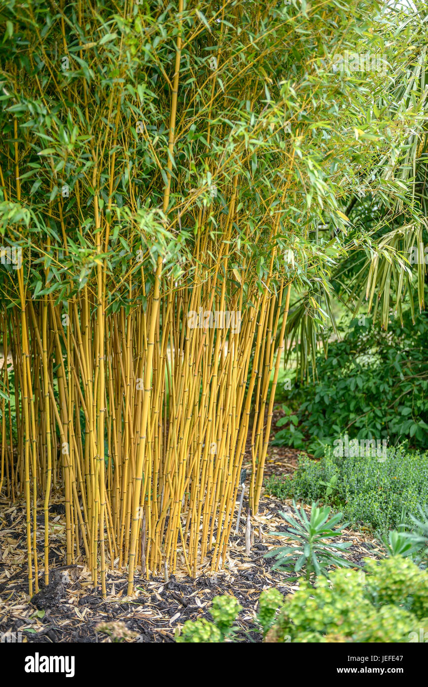 vivax level pipe bamboo phyllostachys vivax aureocaulis. Black Bedroom Furniture Sets. Home Design Ideas