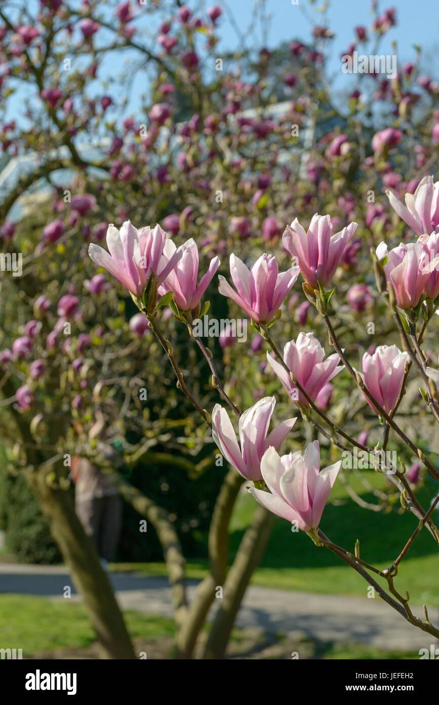 Tulip Magnolia Magnolia Heaven Scent Tulpen Magnolie Magnolia