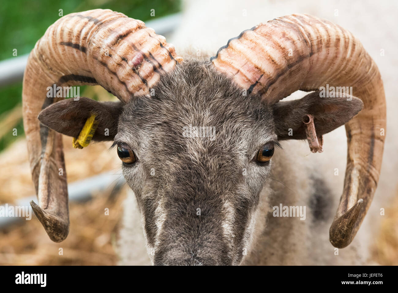 Ovis aries. Boreray sheep on show at the 2017 Royal Three Counties Show. Malvern, Worcestershire, UK - Stock Image