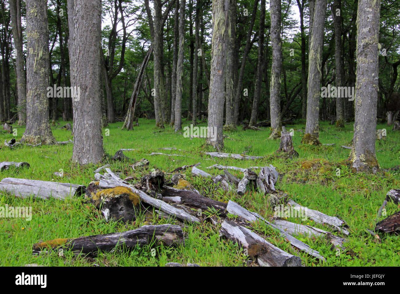 Nice forest, near Villa O'Higgins, Carretera Australl, Patagonia Chile - Stock Image