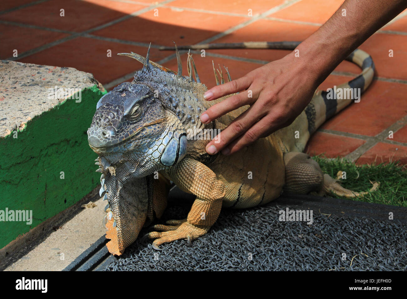 Green iguana, iguana iguana, also known as Common Iguana or American Iguana touched by human, El Salvador - Stock Image