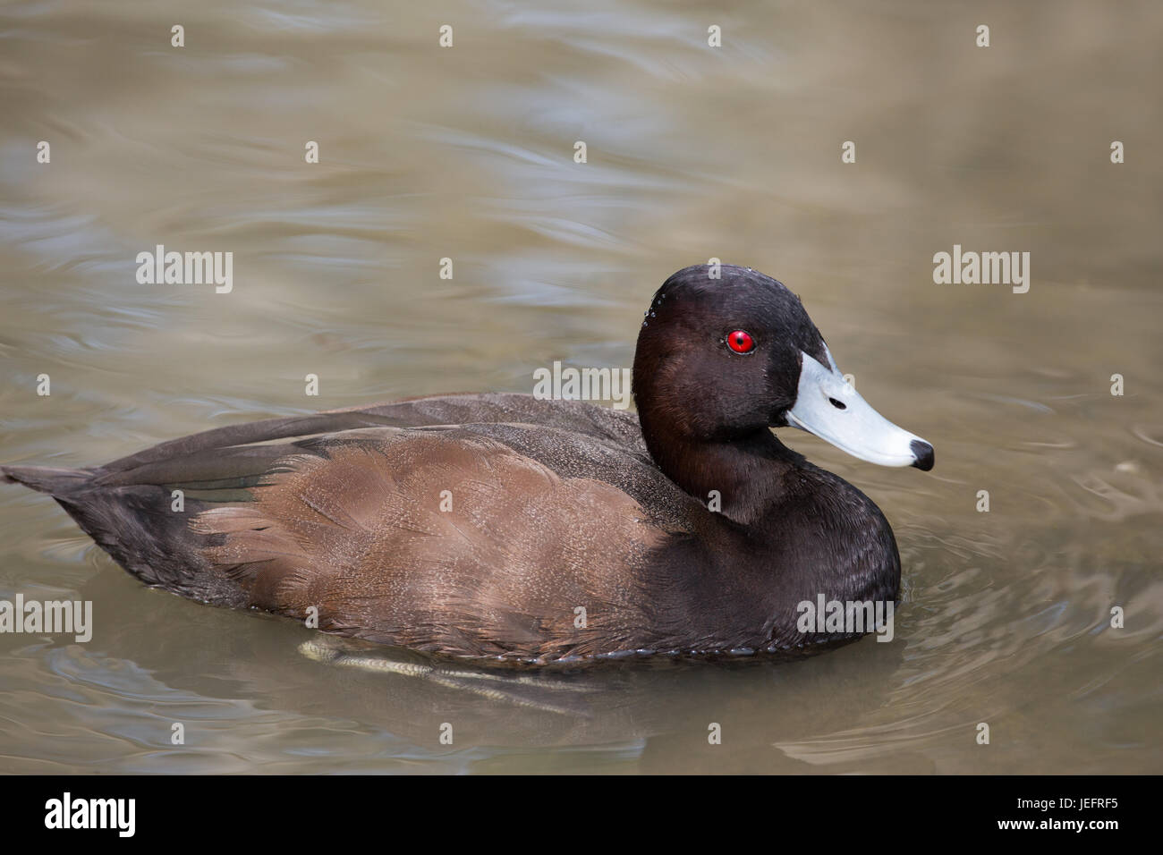 African or Southern Pochard Netta erythrophthalma. Drake or male. - Stock Image