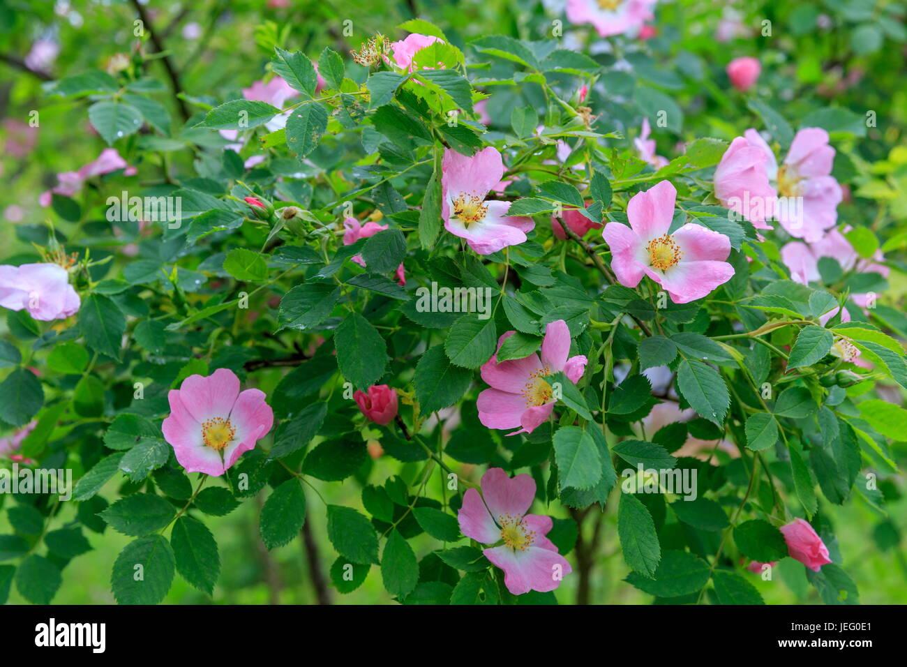 Dog Rose blossoms Rosa canina  Stock Photo