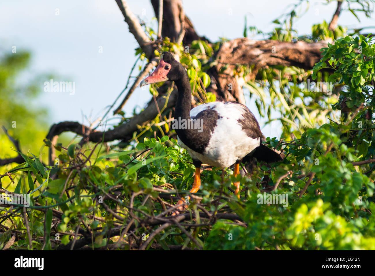 Magpie Goose (Anseranas semipalmata), Yellow Water Billabong, Kakadu National Park, Northern Territory, Australia. - Stock Image