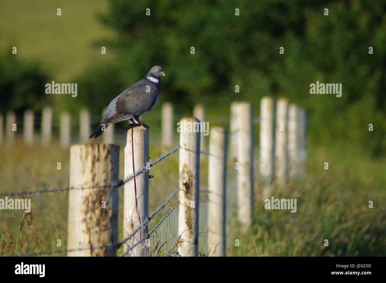 Wood Pigeon (Columba palumbus) on a Farm Fence Post. South West Coast Path, Exmouth, Devon, UK. June, 2017. - Stock Image
