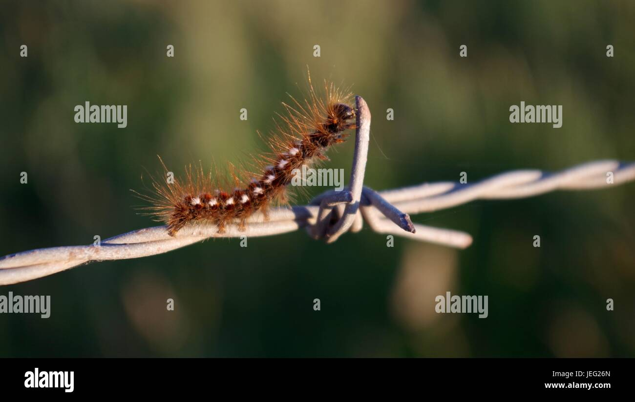 A Caterpillar Negotiates a Barbed Wire Fence in the Evening Light. Exmouth, Devon, UK. June, 2017. - Stock Image