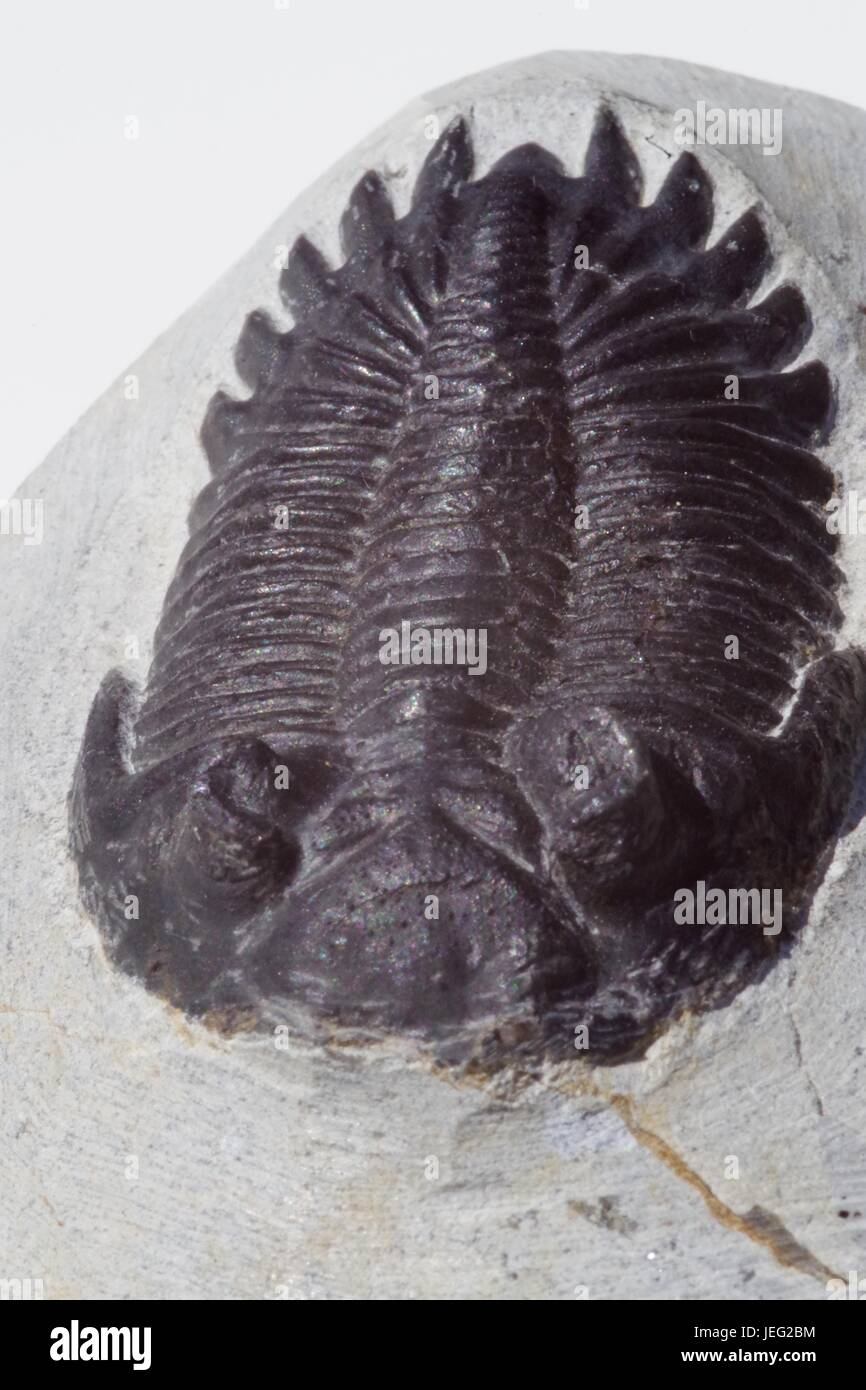 Macro Photo of Trilobite Arthropod Fossil. Geological Specimen, Palaeozoic Era. - Stock Image