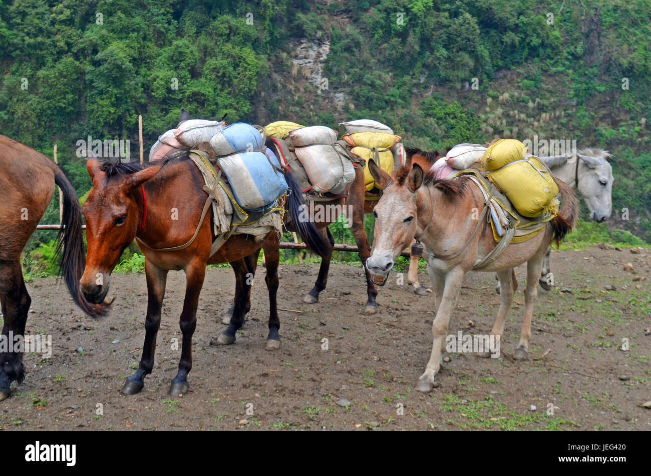Horses with hard burden. Nepal - Stock Image