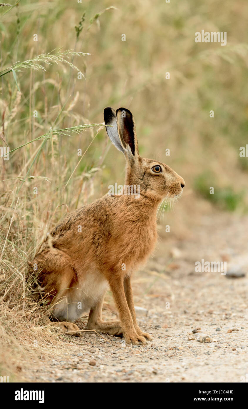 Brown hare(Lepus europaeus) at the edge of a grassland field in Norfolk. - Stock Image