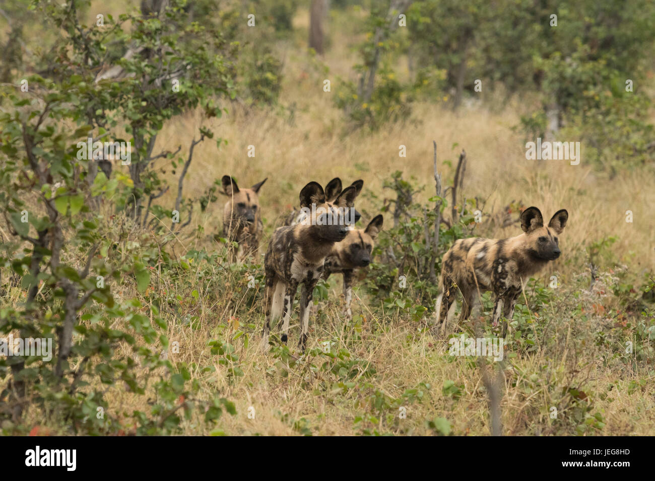 Pack of cape  hunting dogs in the Okavango Delta, Botswana Stock Photo