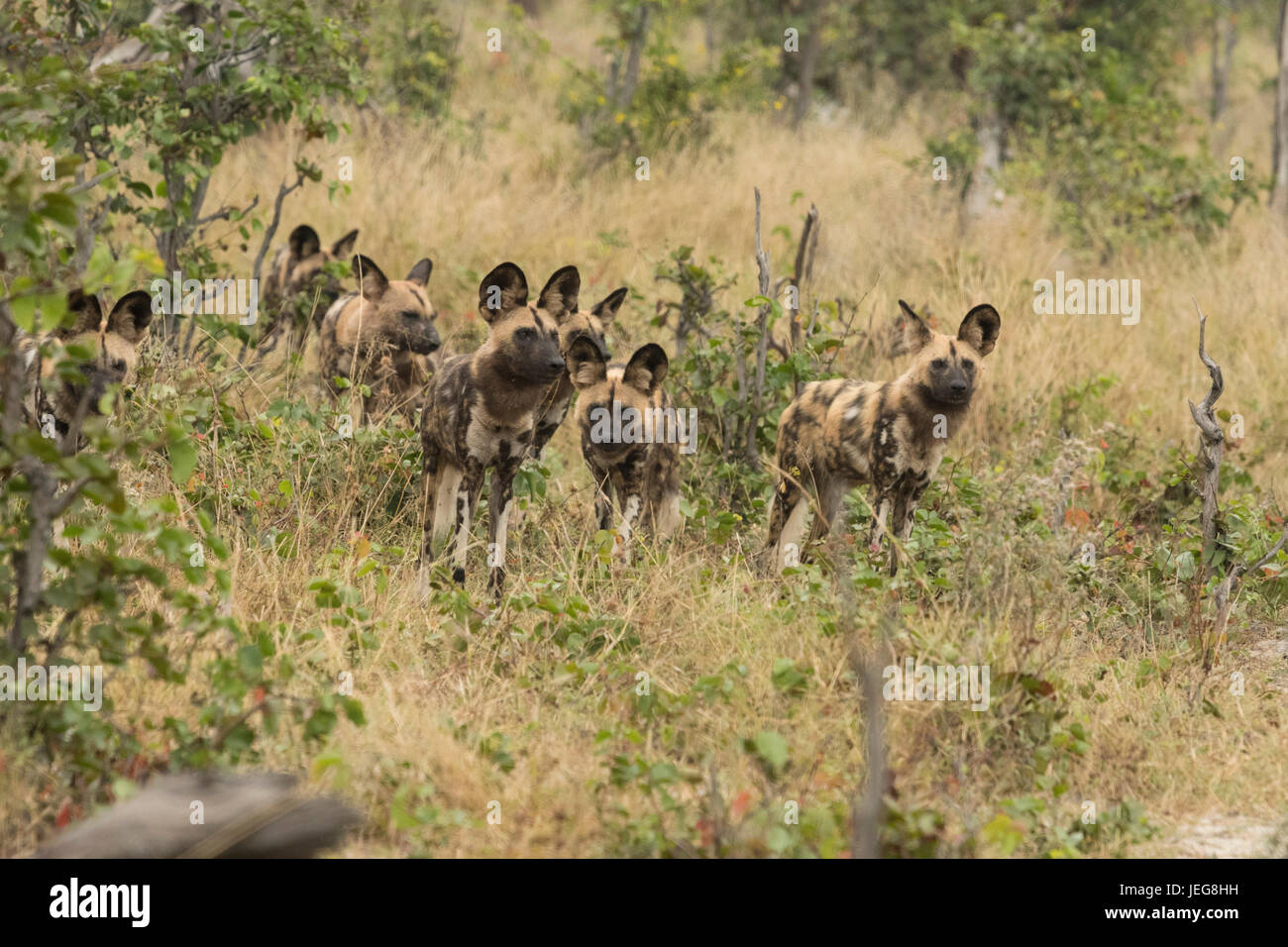 Pack of cape  hunting dogs (Lycaon pictus)  in the Okavango Delta, Botswana - Stock Image