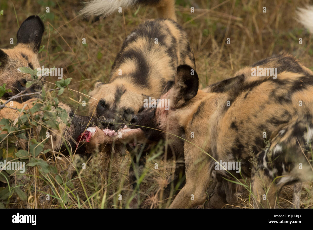 Pack of cape  hunting dogs in the Okavango Delta, Botswana - Stock Image