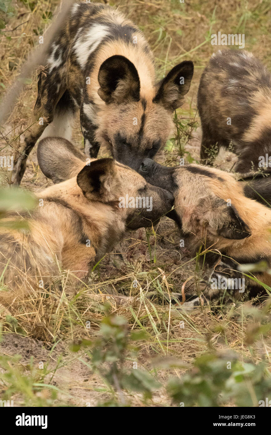 Pack of cape  hunting dogs in the Okavango Delta, Botswana - Stock Image