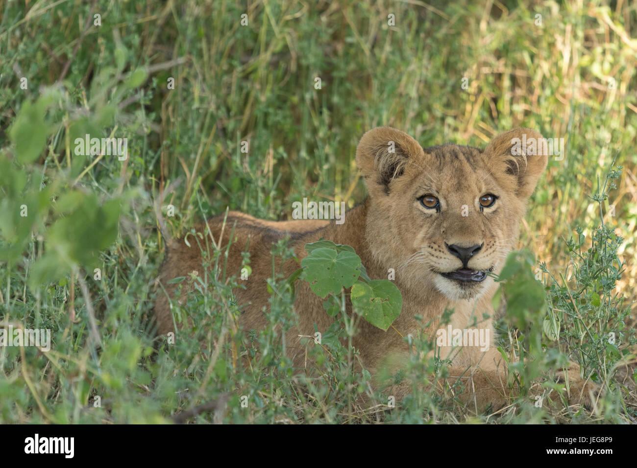 Lioness (Panthera leo) lying in grass in Okavango Delta Botswana - Stock Image