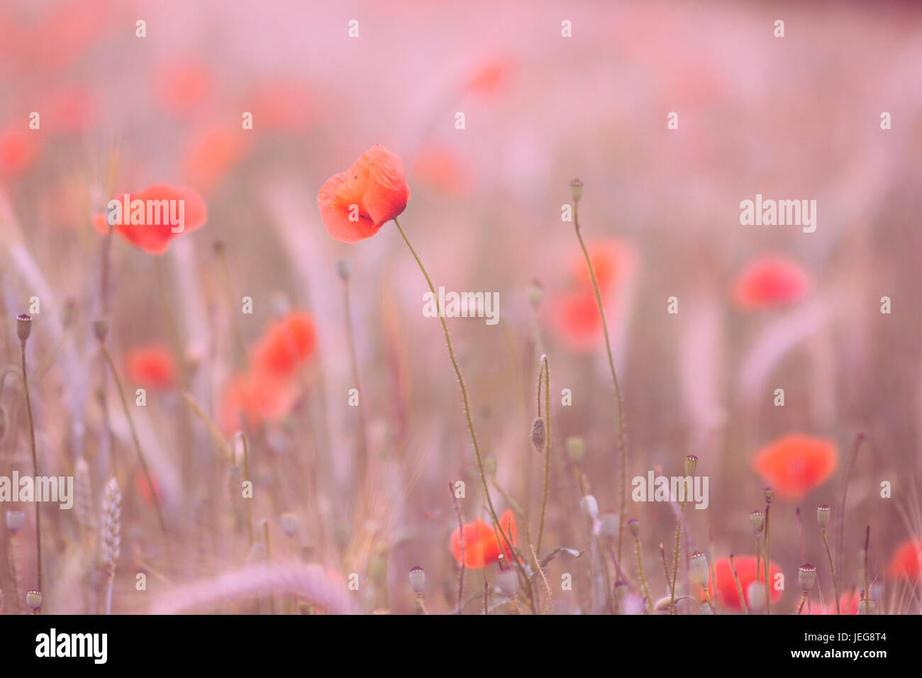 Poppy flowers in sunset - Stock Image