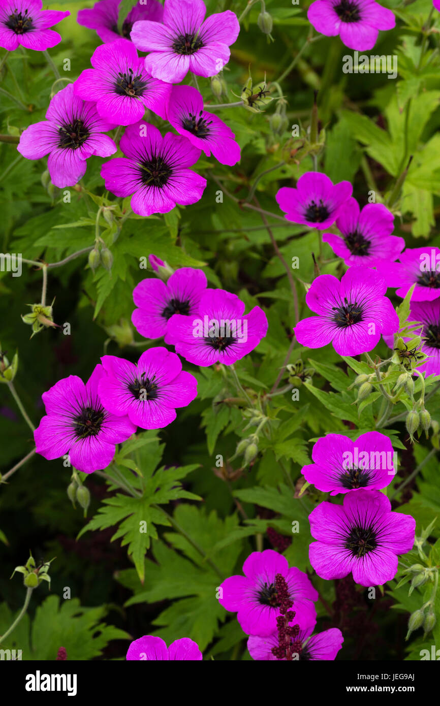 Dark eyed magenta flowers of the sprawling hardy geranium, Geranium psilostemon - Stock Image