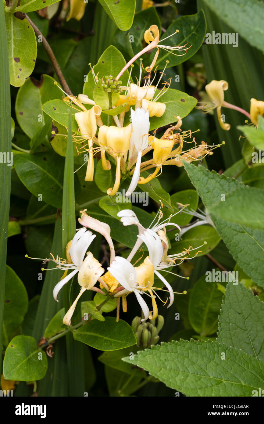 White and yellow flowers of the fragrant hardy climbing honeysuckle, Lonicera periclymenum 'Sweet Sue' - Stock Image