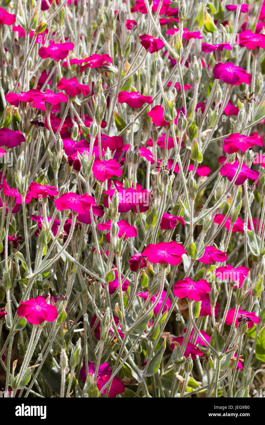 Silvery Foliage And Red Pink Flowers Ofthe Summer Flowering