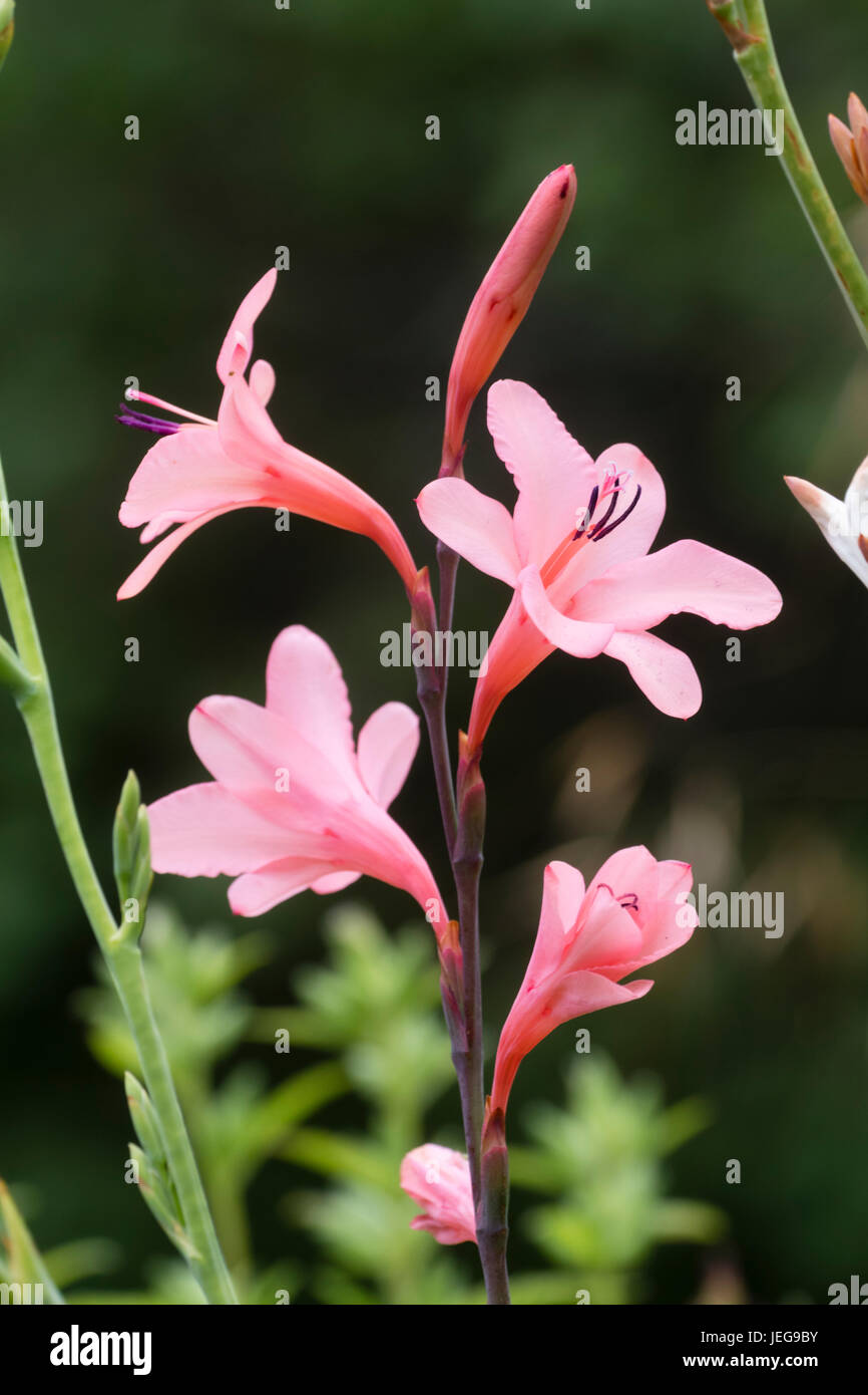 Pink flowers of the South African half-hardy corm, Watsonia borbonica - Stock Image