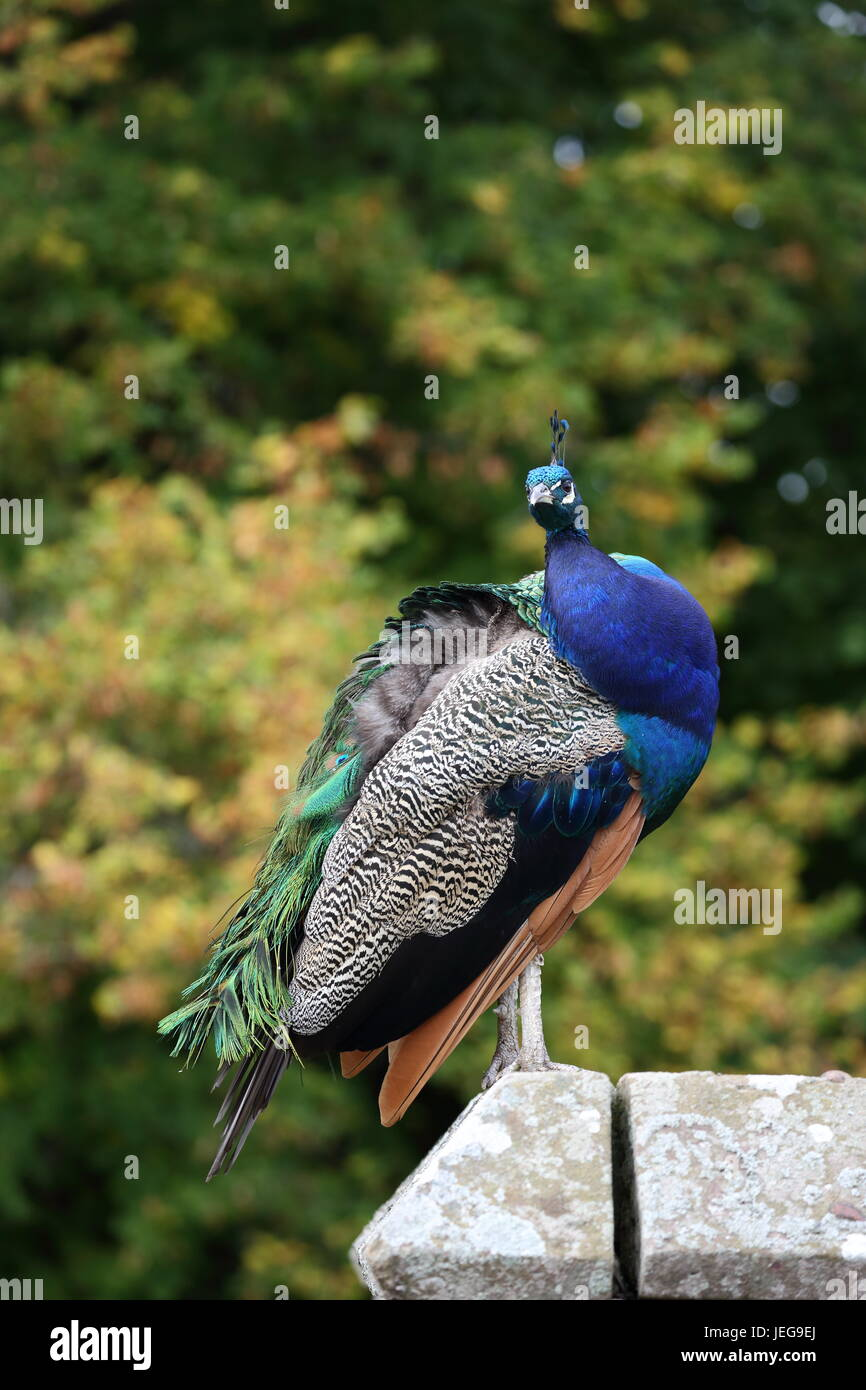 A beautiful male Peacock showing off in the garden of Scone Palace, Scotland - Stock Image