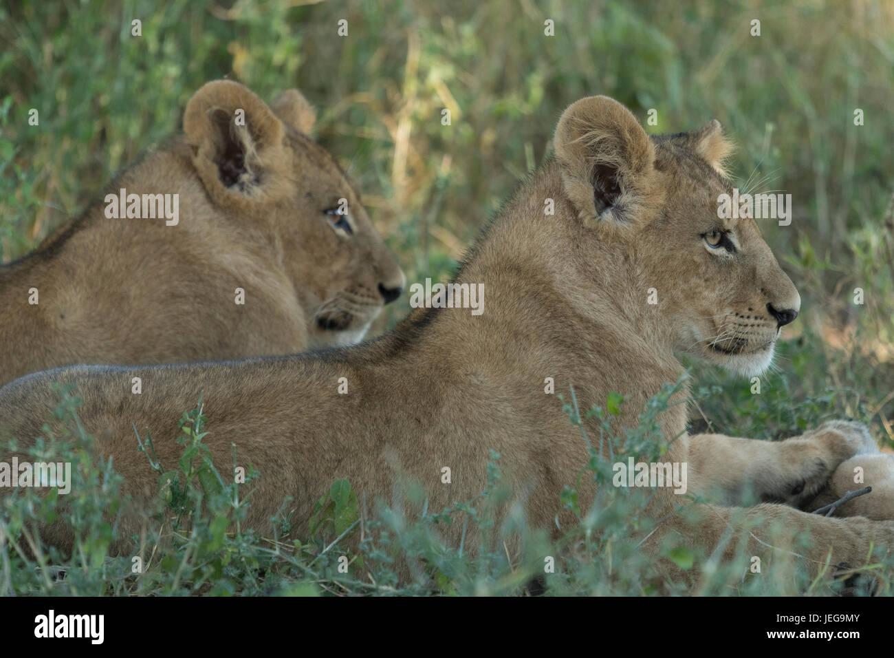 Two lionesses (Panthera leo) in the Okavango Delta Botswana - Stock Image