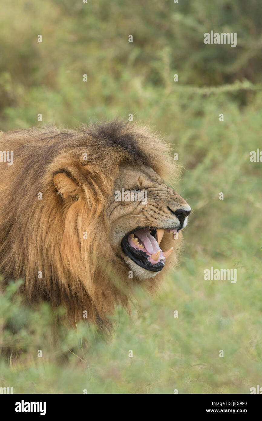 Pride maned male lion (panthera leo) snarling and doing phleghmen - Stock Image