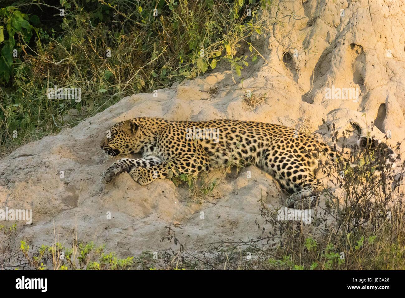 Female leopard (Panthera pardus)  lying alongside a termite mound in the Okavango Delta. - Stock Image