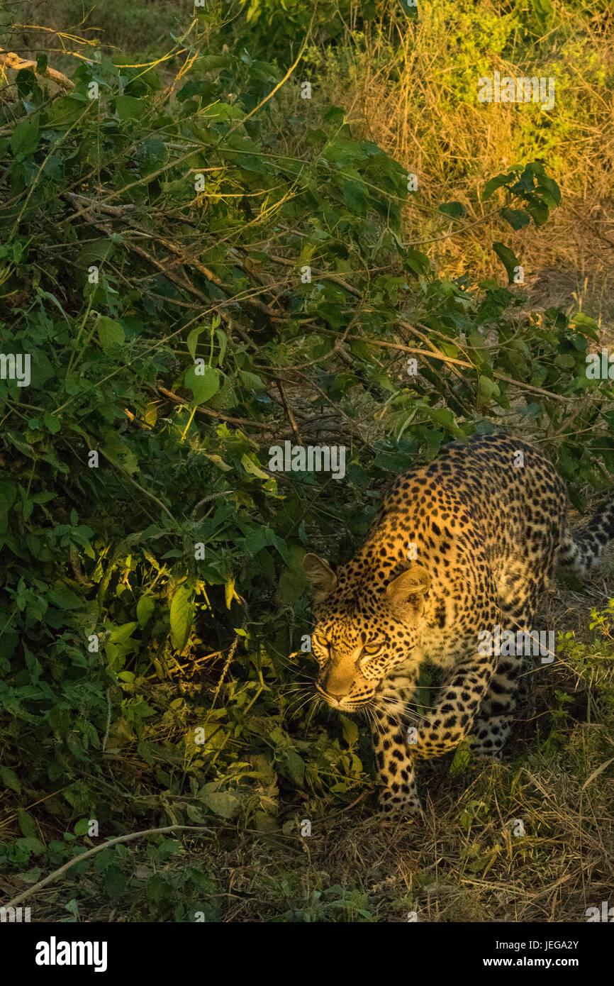 Female leopard (Panthera pardus) walking in thick bush in the Okavango Delta in Botswana - Stock Image