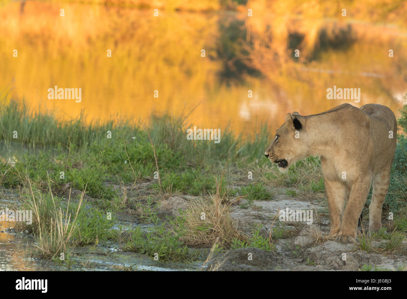 Subadult lion standing alongside water in early morning sunlight - Stock Image