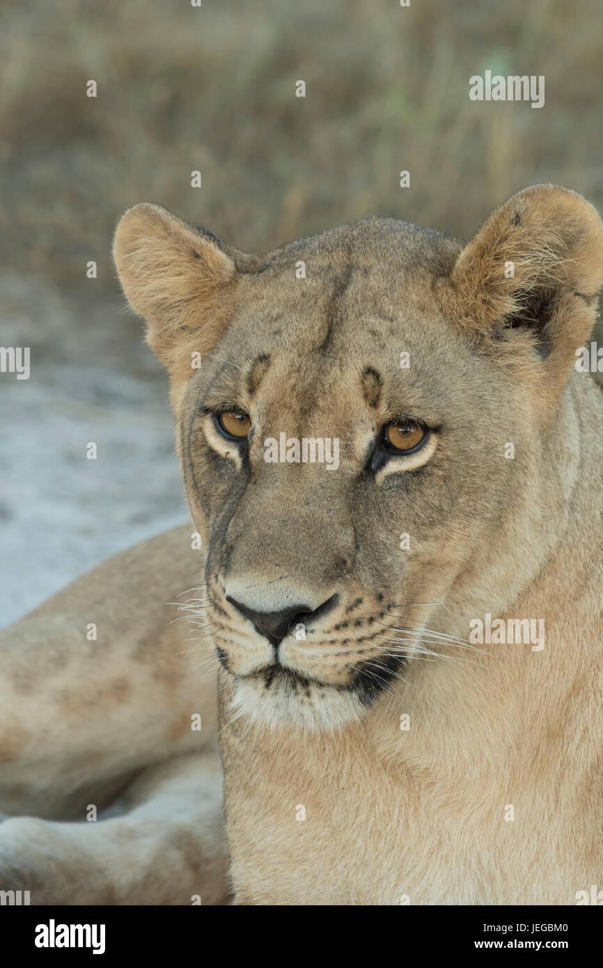 Lioness lying on sand in Mombo Botswana - Stock Image
