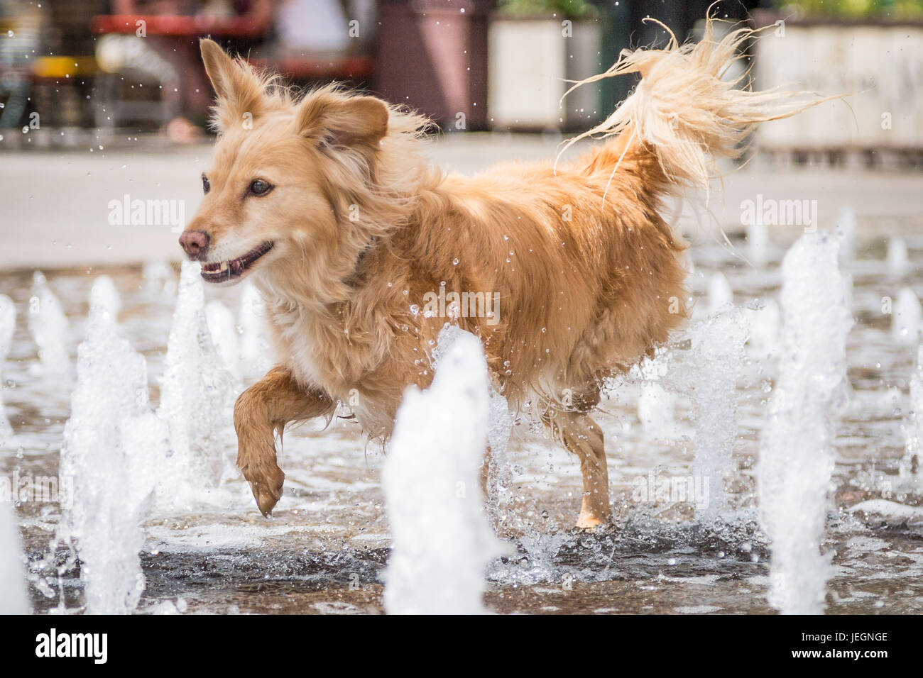London, UK. 23rd June, 2017. UK Weather: Roxie the dog enjoys the Granary Square fountains near King's Cross on - Stock Image