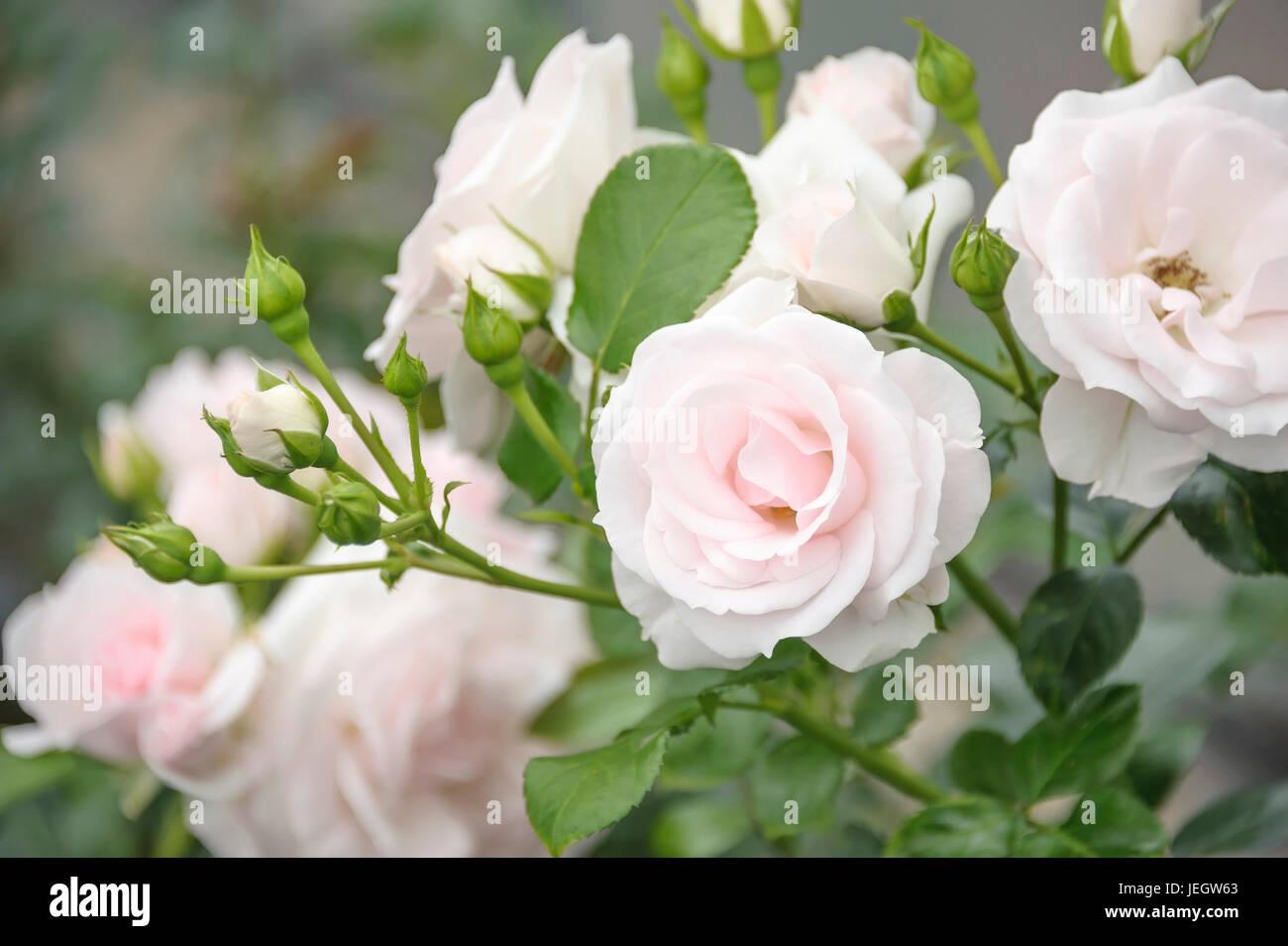 Ground deck-rose, pink ASPIRIN ROSE , Bodendecker-Rose (Rosa ASPIRIN ROSE) Stock Photo