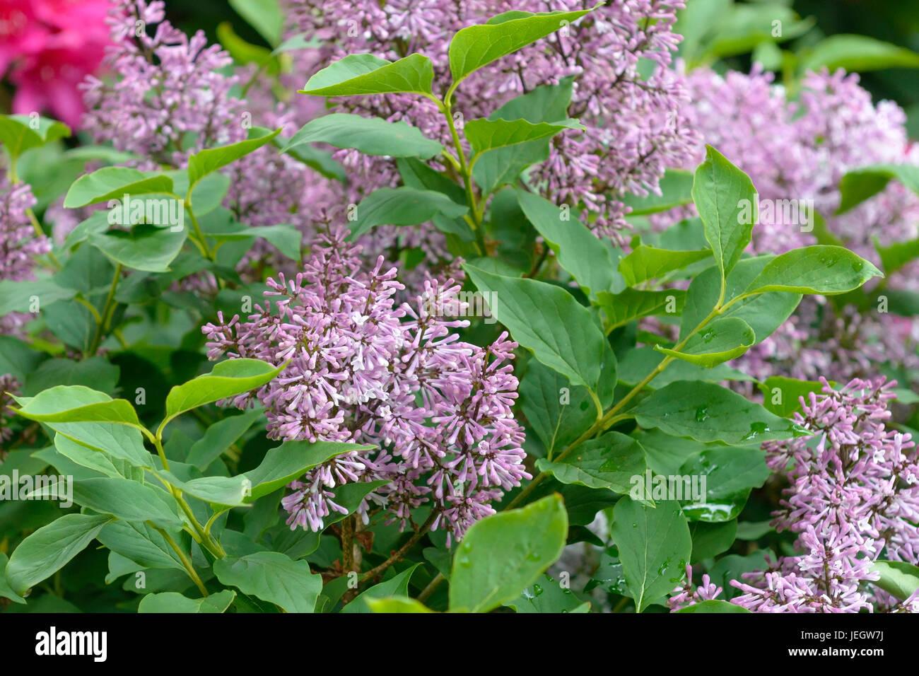 korean lilac syringa patula miss kim koreanischer. Black Bedroom Furniture Sets. Home Design Ideas