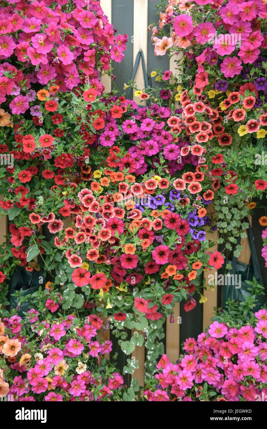 Mini-petunia, Calibrachoa , Mini-Petunie (Calibrachoa) - Stock Image