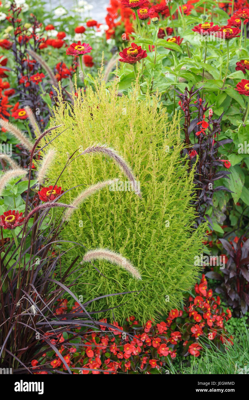 Kochia Stock Photos Kochia Stock Images Alamy