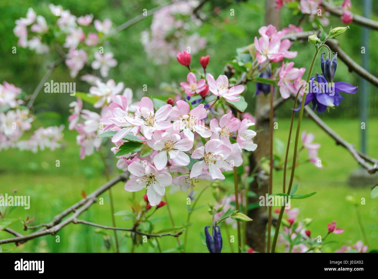 Zier Apfel Stock Photos Zier Apfel Stock Images Alamy