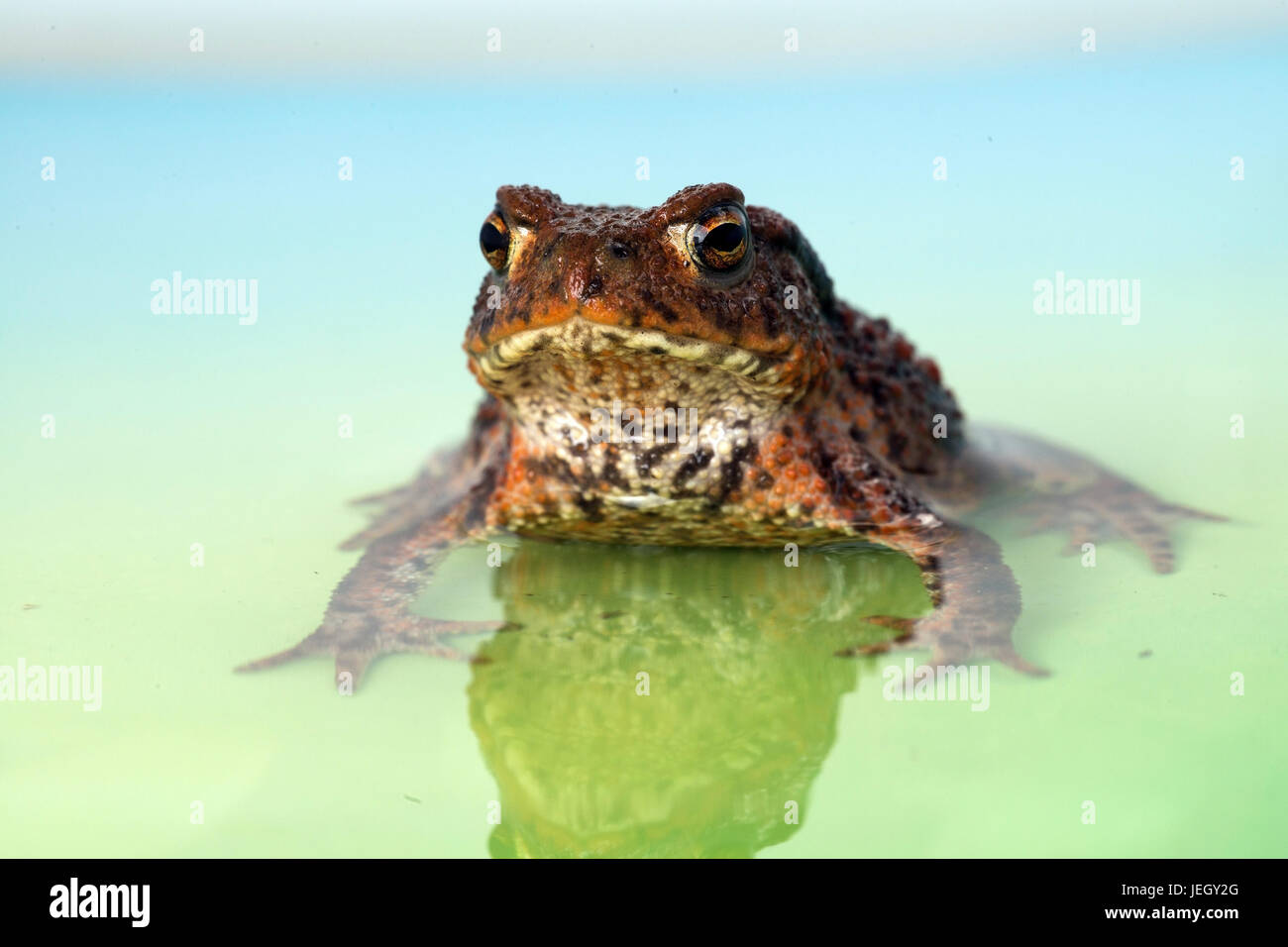 Earth toad, Bufo bufo, Erdkröte (Bufo bufo) Stock Photo