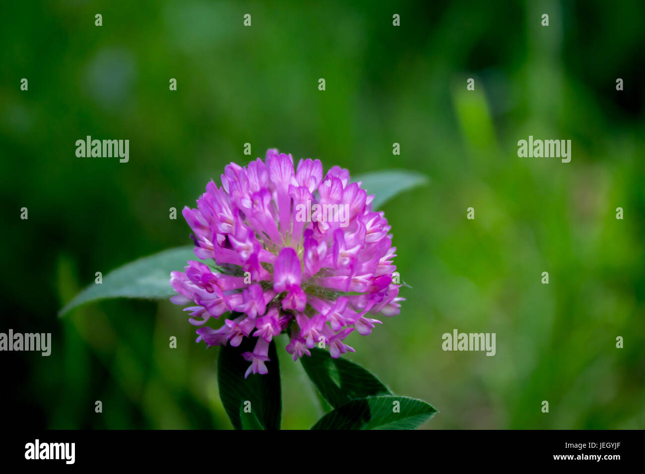 Purple Clover Flower In Bloom Trifolium Pratense Stock Photo