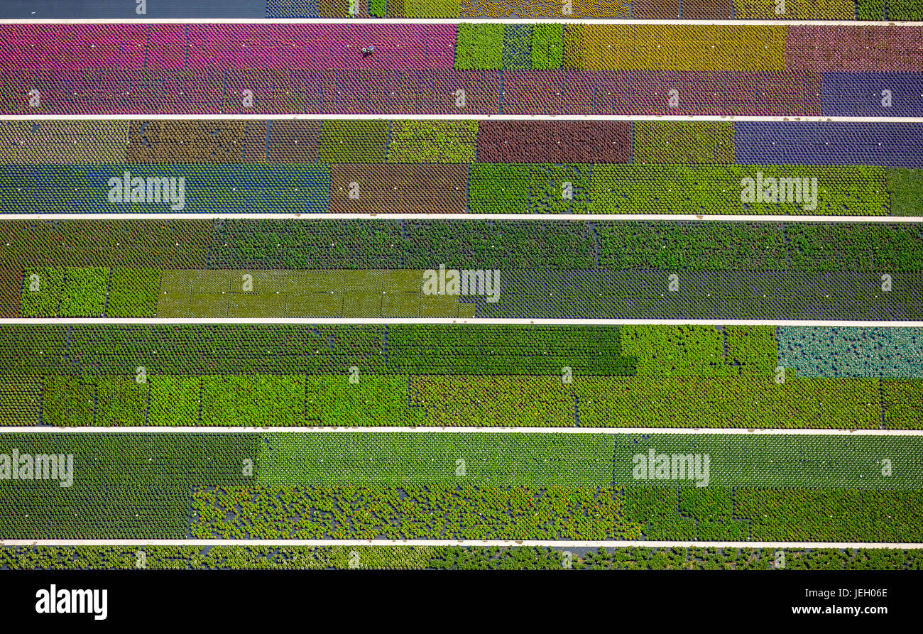 Colorful potted plants in rows, nursery, garden center, Nordkirchen, Münsterland, North Rhine-Westphalia, Germany - Stock Image