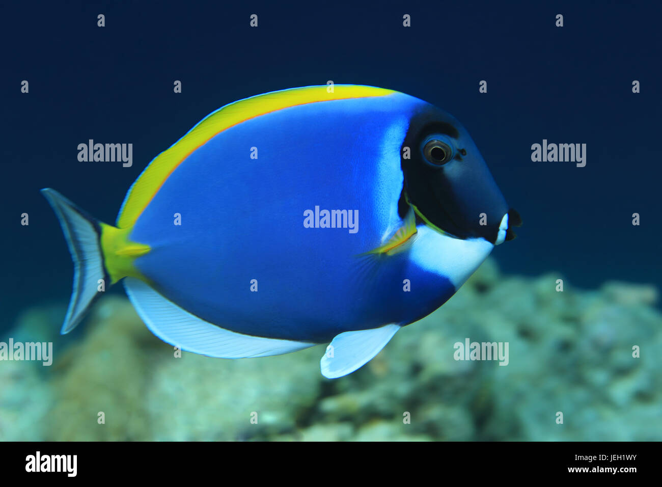 Powderblue surgeonfish (Acanthurus leucosternon) underwater in the indian ocean - Stock Image