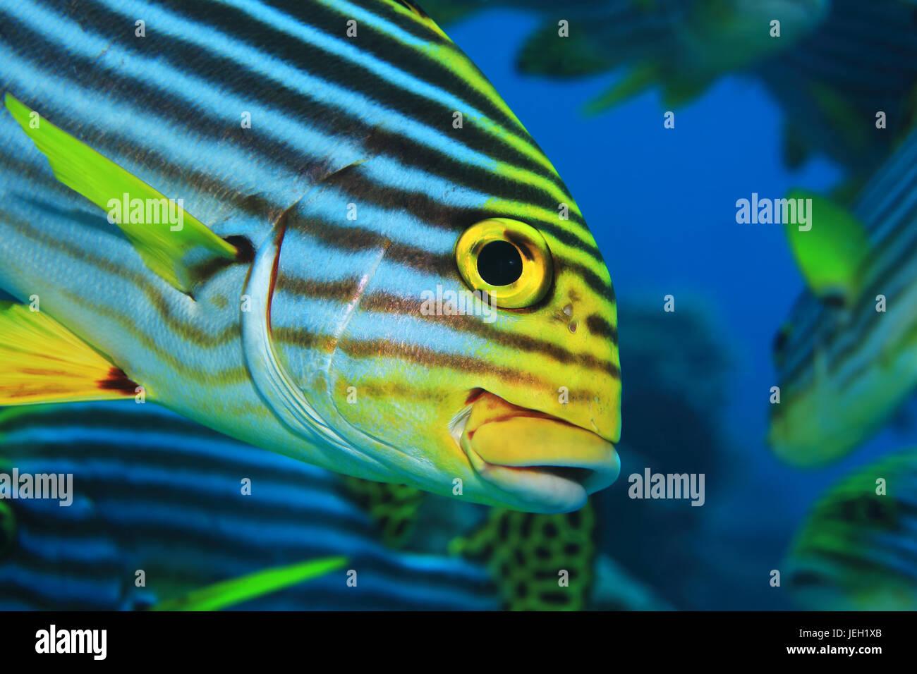 Oriental sweetlips fish (Plectorhinchus orientalis) underwater in the tropical indian ocean - Stock Image