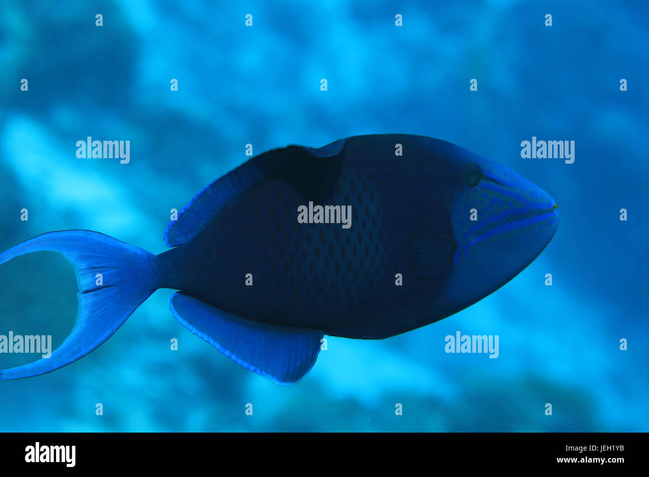 Red-toothed triggerfish (Odonus niger) underwater in the indian ocean - Stock Image