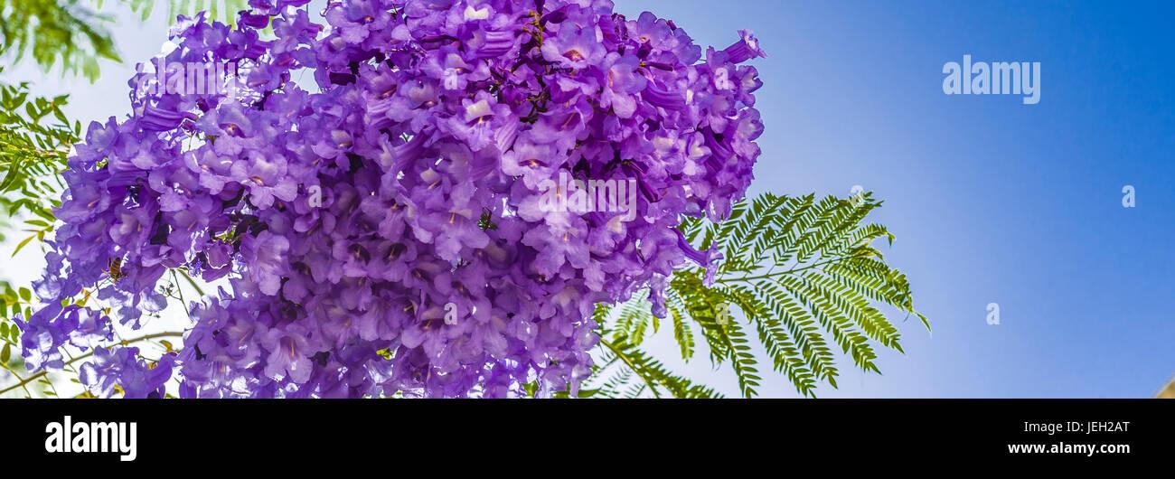 handroanthus impetiginosa lilac blue color tabebuia avellanedae or