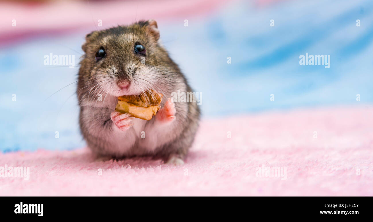 Baby Hamster Stock Photos & Baby Hamster Stock Images - Alamy